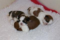 23.puppy_